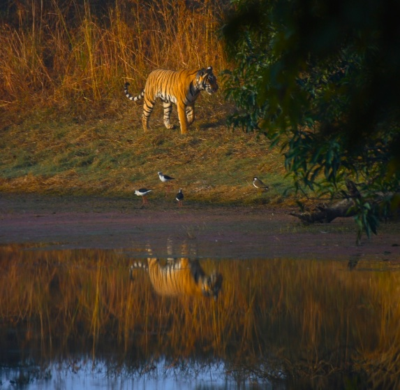 A reflexion of the largest cat in the world. Ranthambore, India.