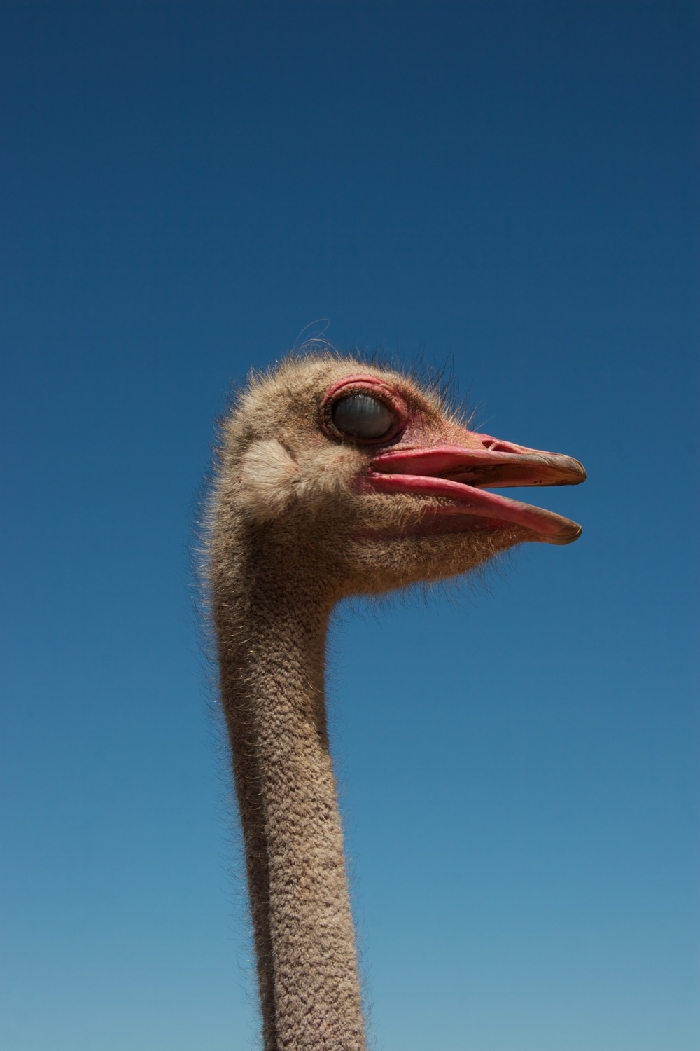 An ostrich can turn its neck 360 degrees.