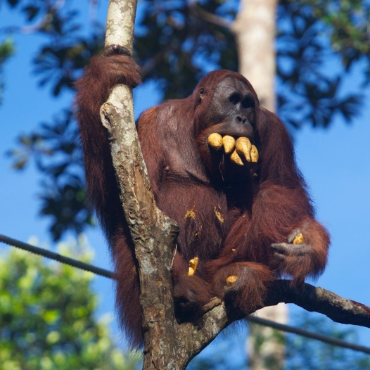 An excessively hungry orangutang.