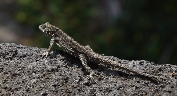 The perfect camouflage against volcanic rock.