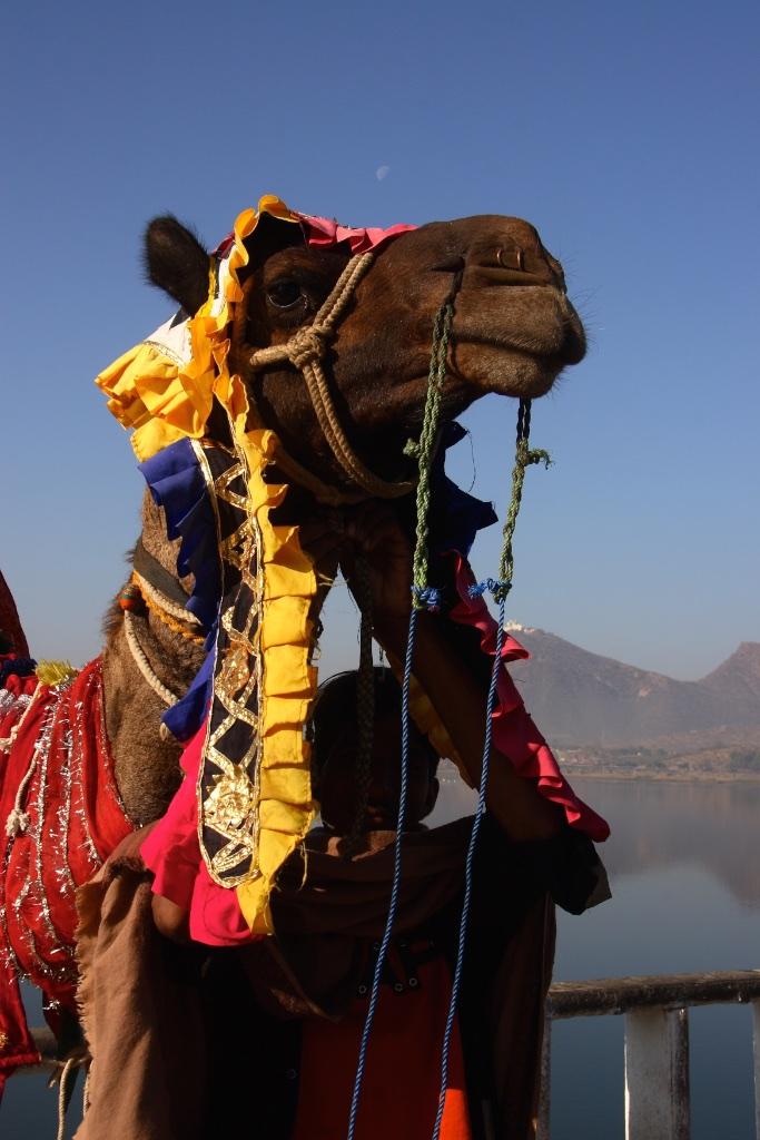 A fashionably dressed camel.