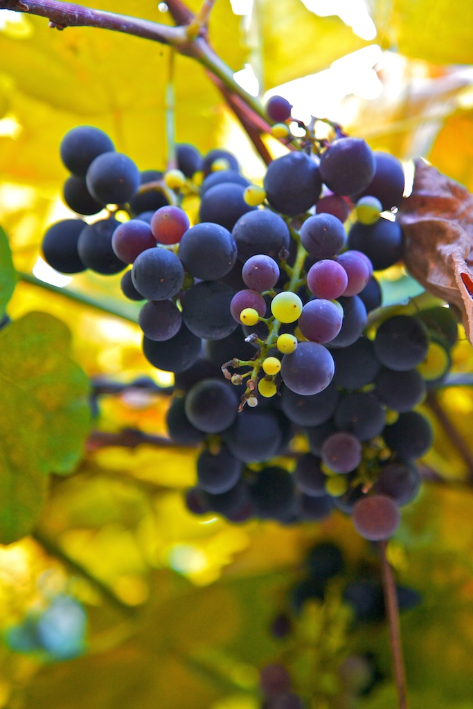 Grapes in different stages of maturity. Vienna, Austria.