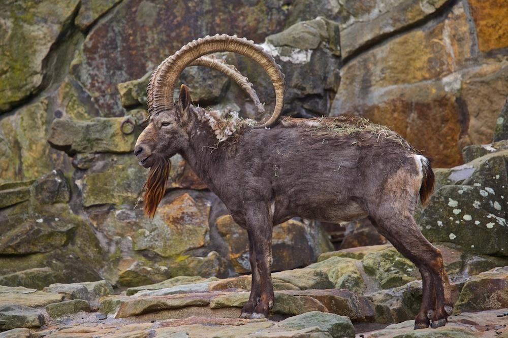 A male Nubian ibex