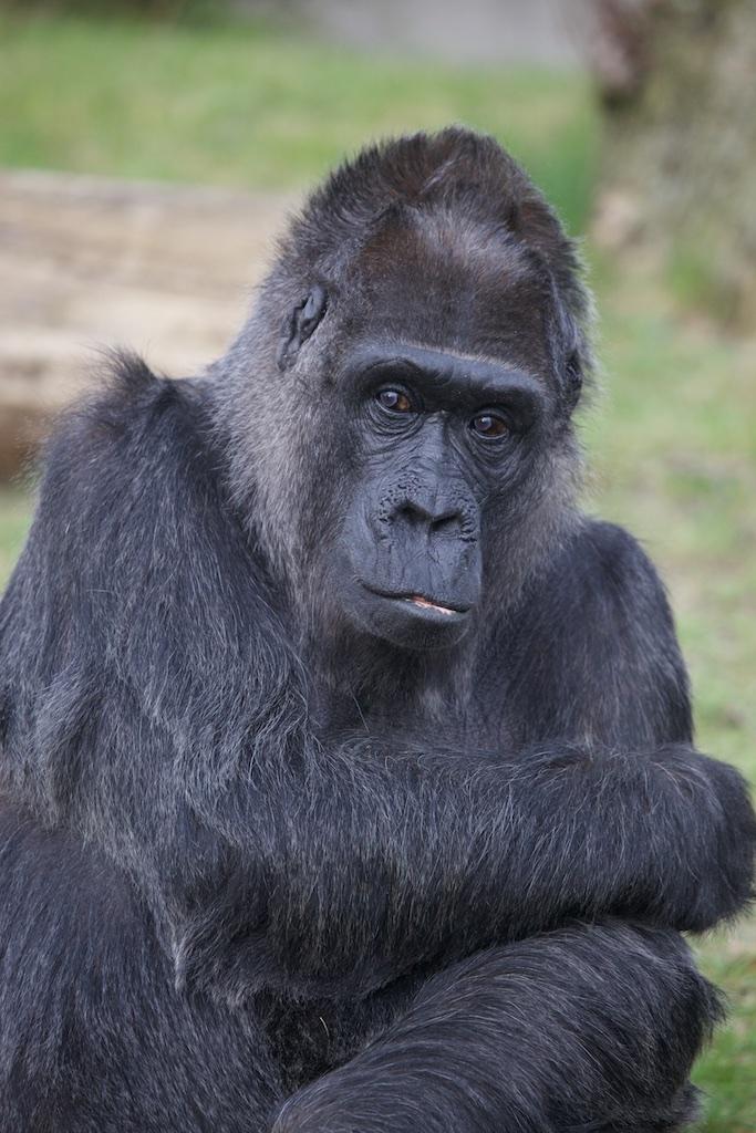 A Congo gorilla.