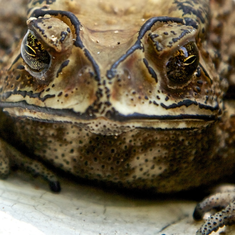 A very imposing toad.