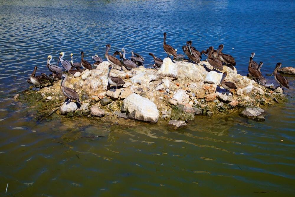 Albatross colony.