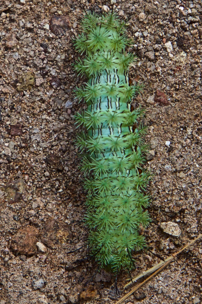 Greengrocery centipede.