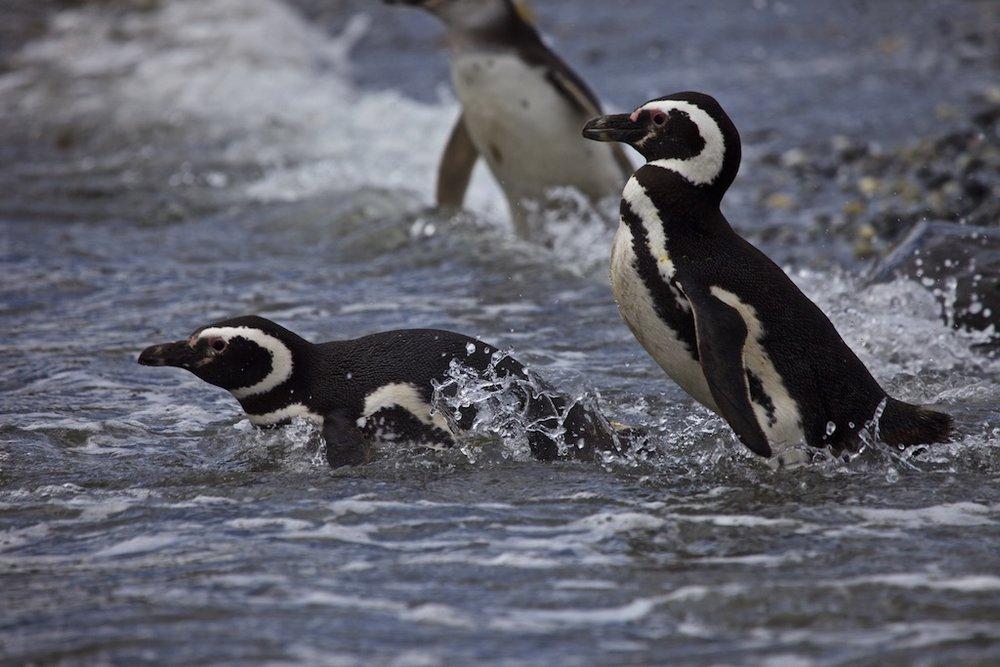 Magellanic penguins, Tucker Islands.