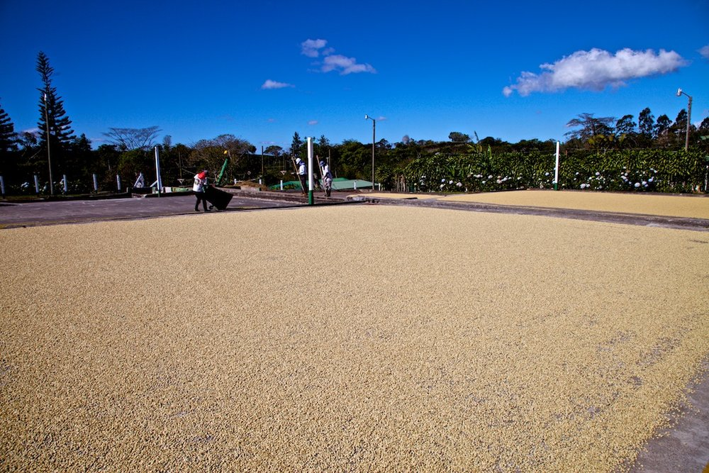 - Professionals at Work: The processing of coffee beans, drying them in the sun. Costa Rica.