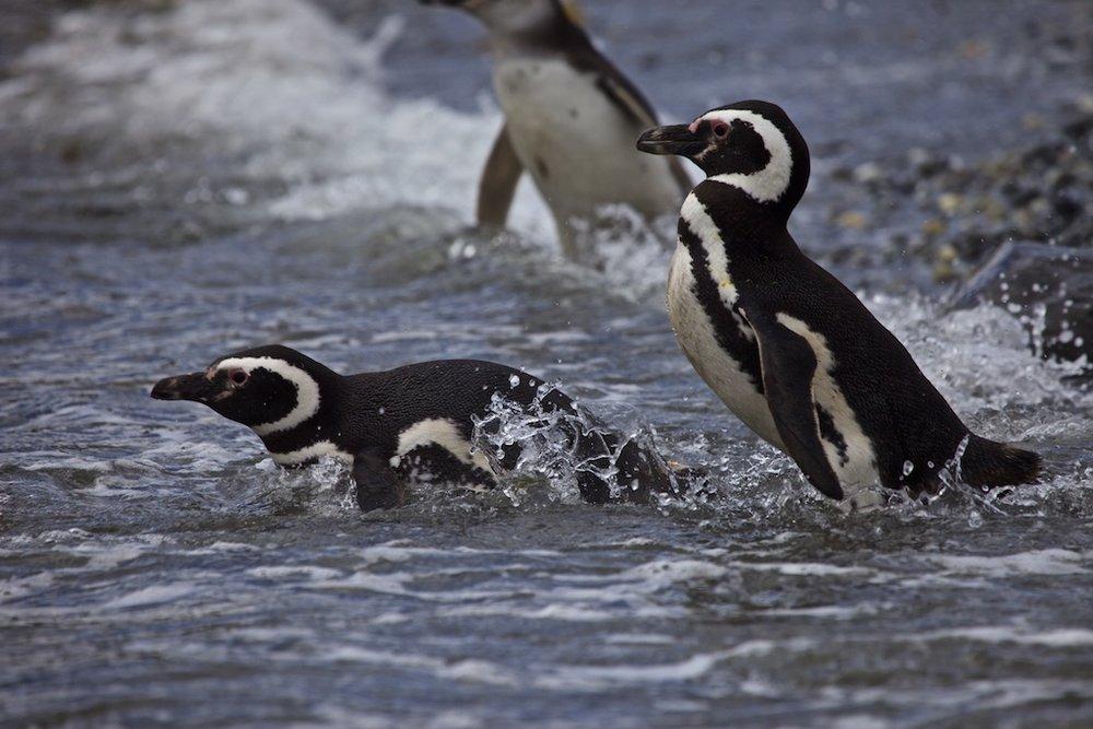 - The Kingdom of Animals: Penguinos en Tierra de Fuego, Chile