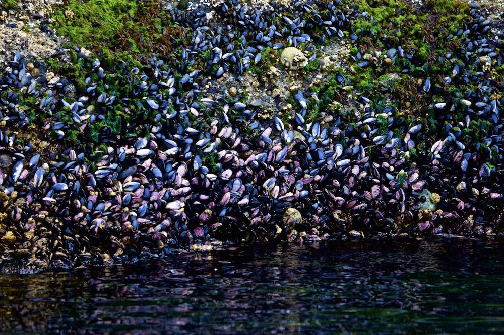 - The Wonders of Nature: Mussels growing in abundance on rocks near Cape Horn, Chile.