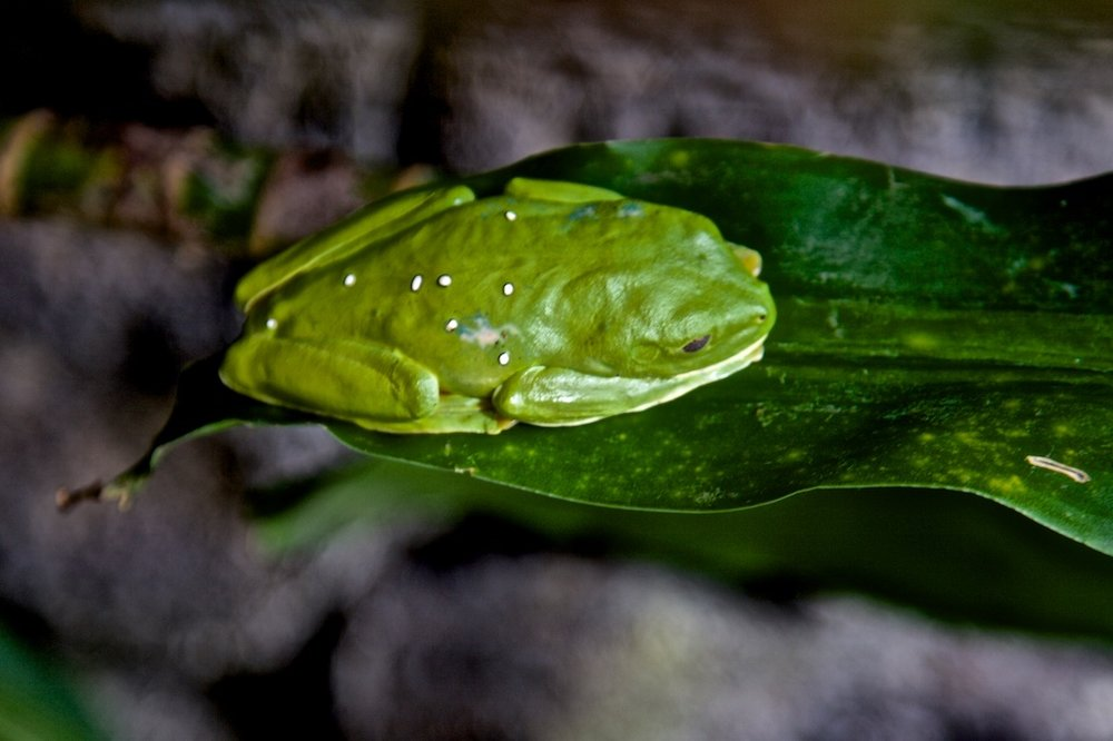 Leaf frog with eggs, Costa Rica.