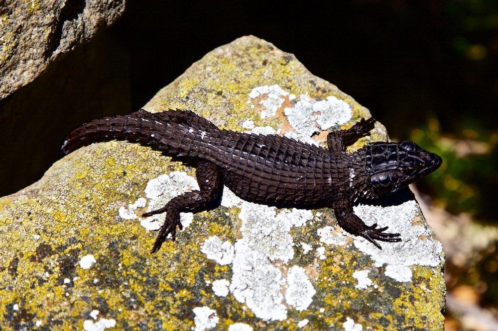 Lizard, Cape of Good Hope.