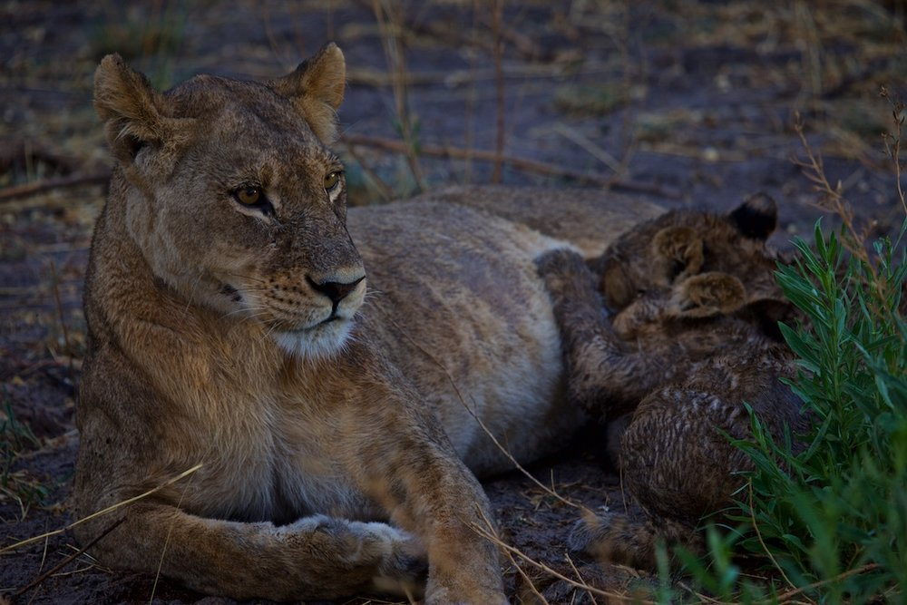 Lioness with cub.