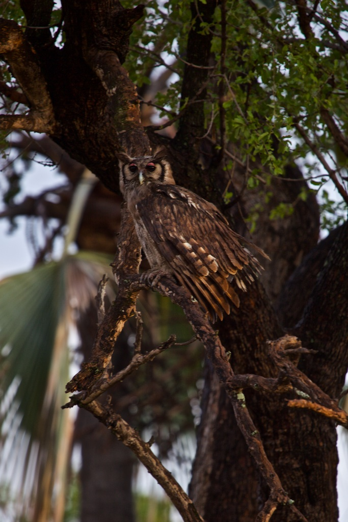 Owl, Okavango Delta, Botswana.