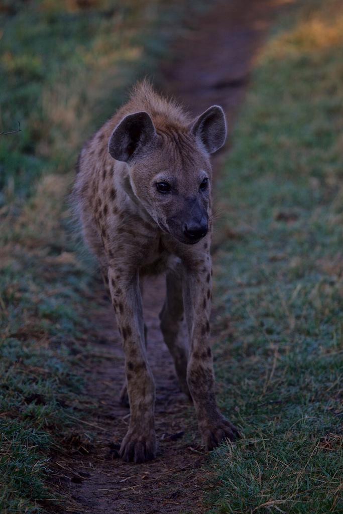 Hyena on the prowl.