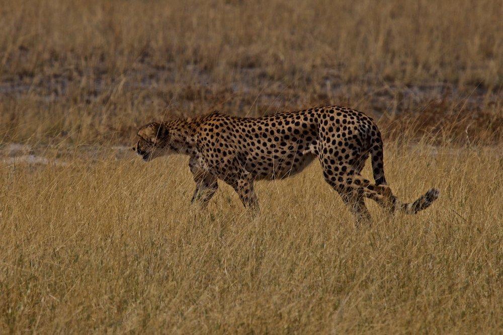 Cheetah, the world's fastest animal on land. Okavango Delta, Botswana.