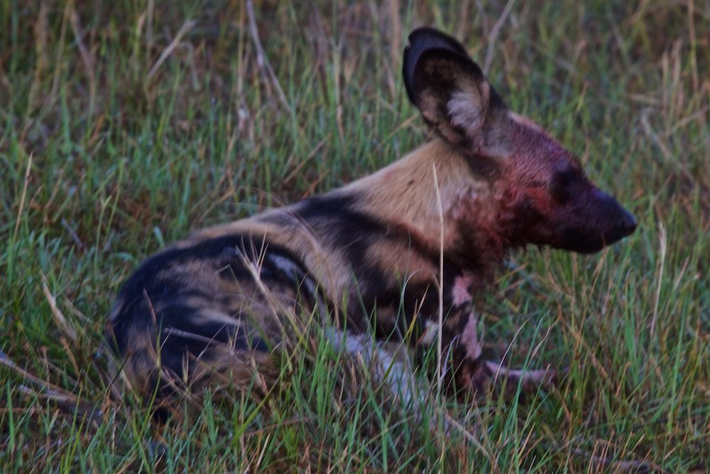 A wild dog sated after feasting on a quarry his pack brought down