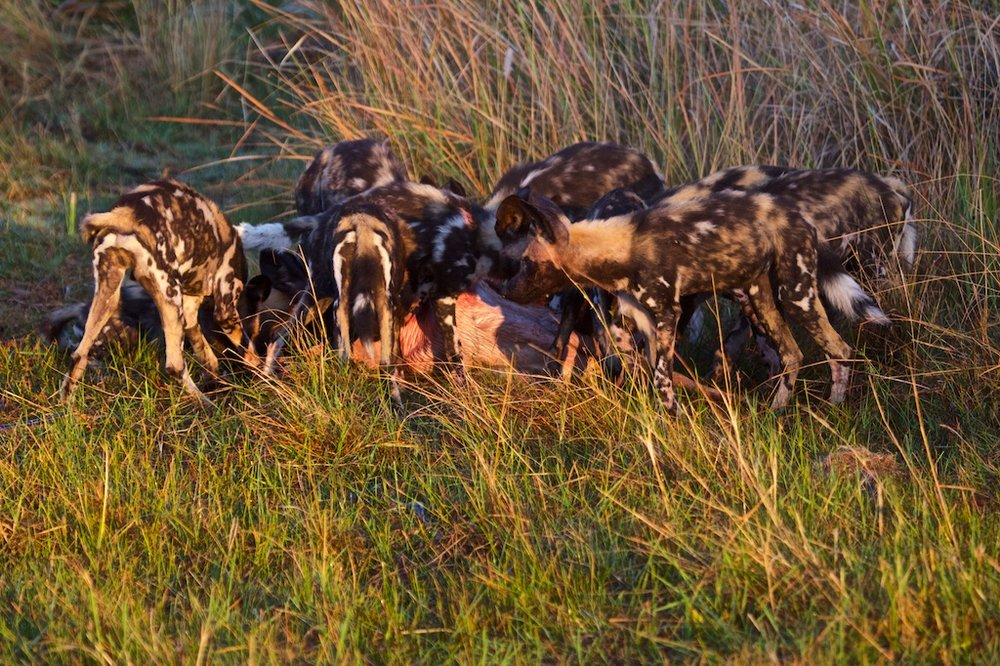 A pack of wild dogs feasting on their prey