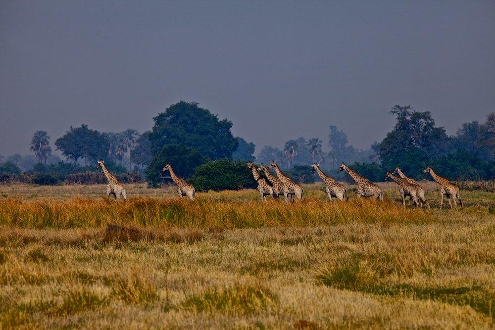 Giraffes moving across the Botswana landscape