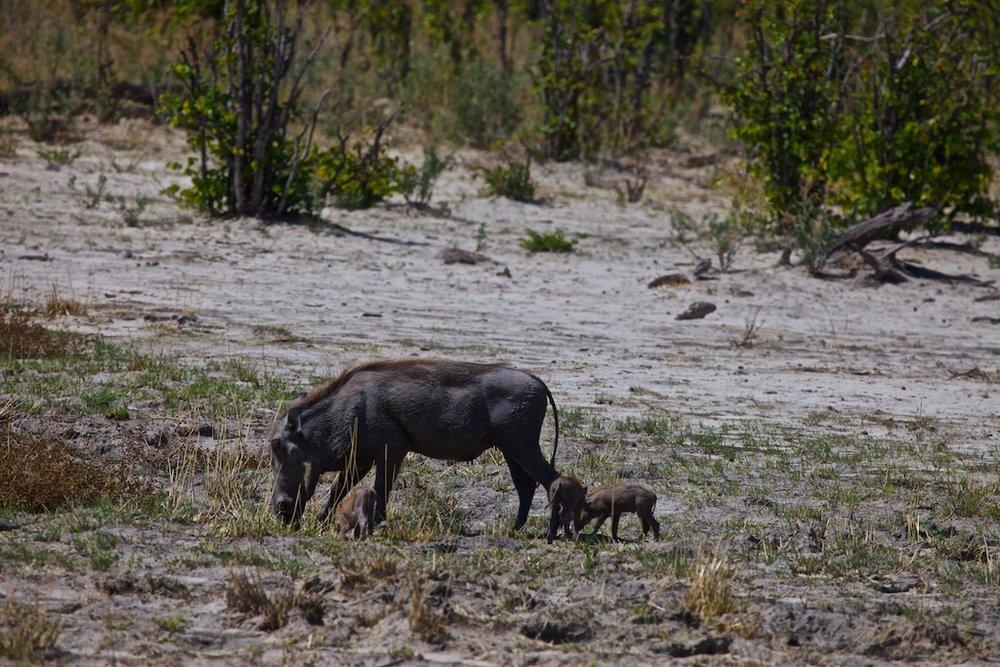 Wild boar with offspring, Botswana