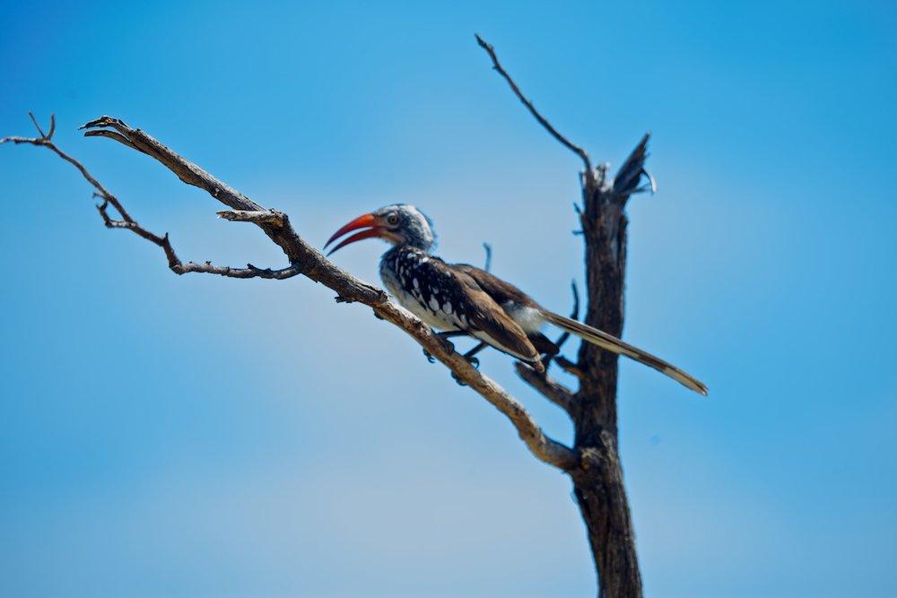 A damara hornbill, Botswana