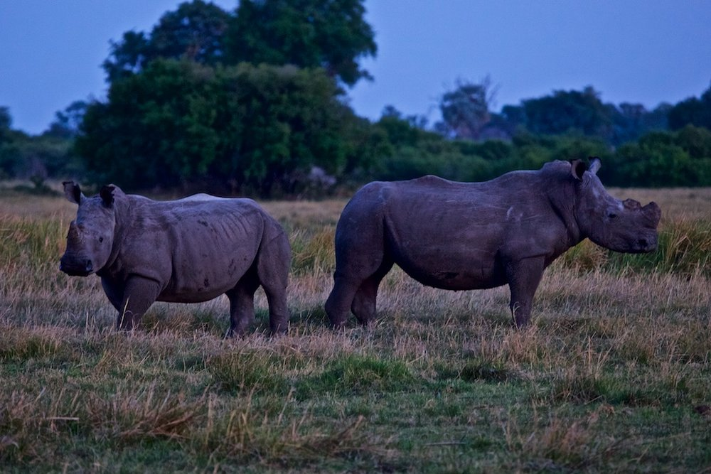 Mother and calf rhinoceros, the elder with her horns sawed off