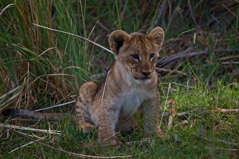 Lion in training