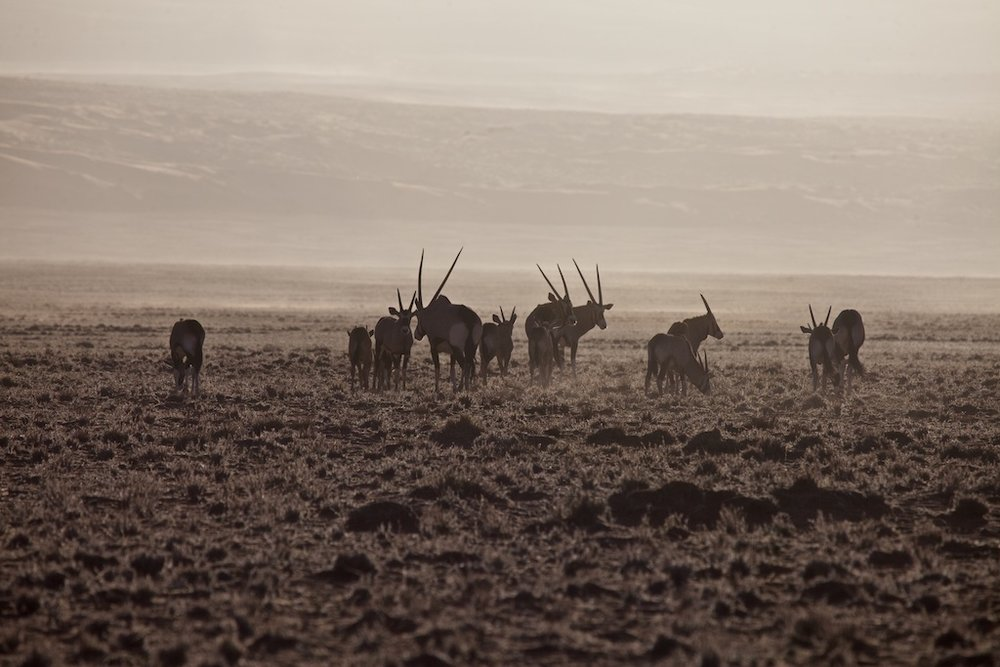 Desert wildlife in the midst of a sandstorm, Namibia