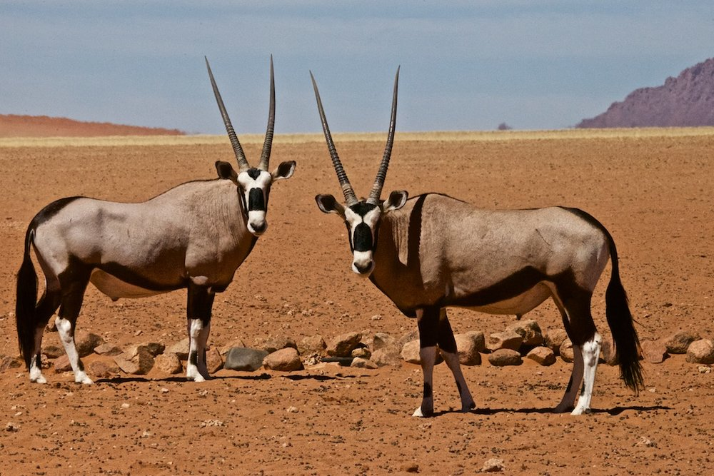 Two oryx antelopes caught in surprise