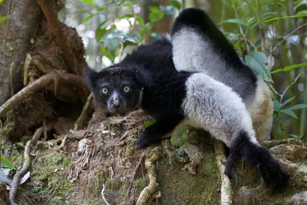 An indri lemur, the largest lemur still in existence