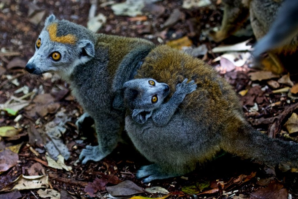 Mother and child lemur, endemic to Madagascar
