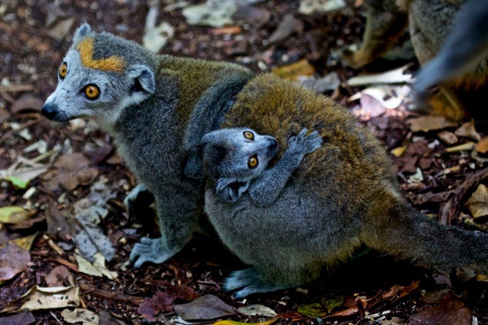Mother and child lemur, Madagascar