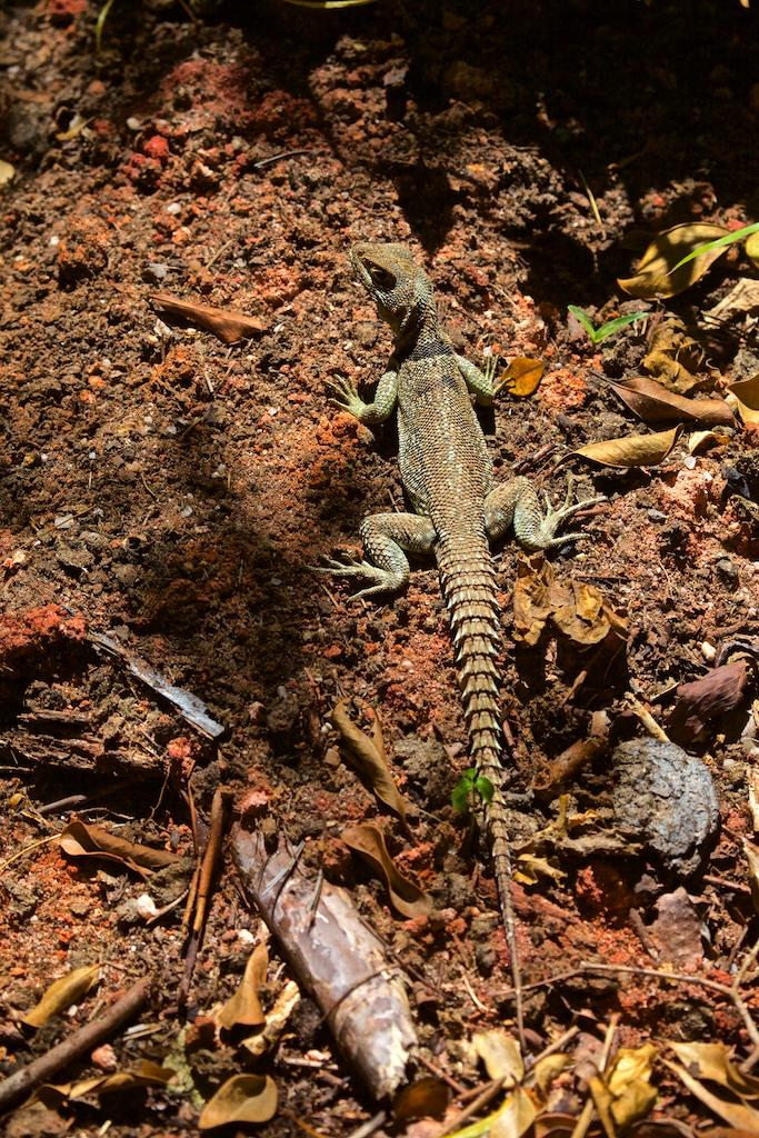 Spectacular lizard, Madagascar