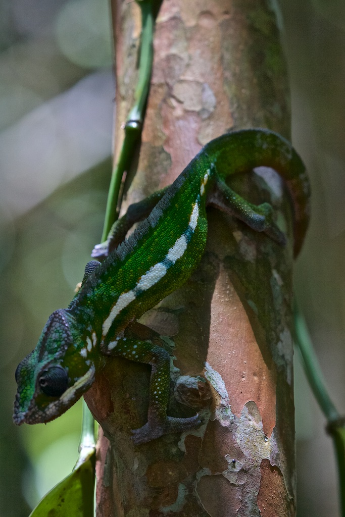 One of many kinds of chameleons in Madagascar