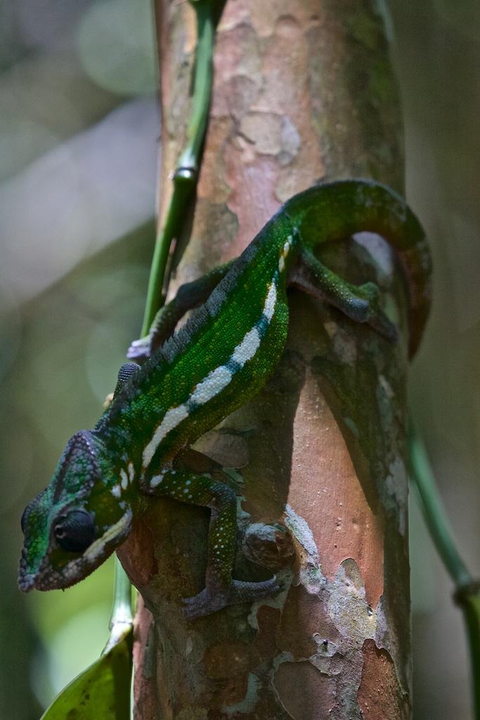 One of many kinds of chameleons in Madagascar