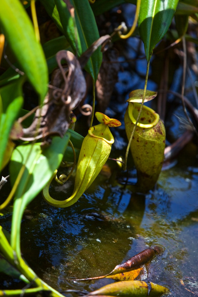 A carnivorous plant in Madagascar. Its perfume lures insects inside and then the plant closes the trap with its lid. before devouring the game.