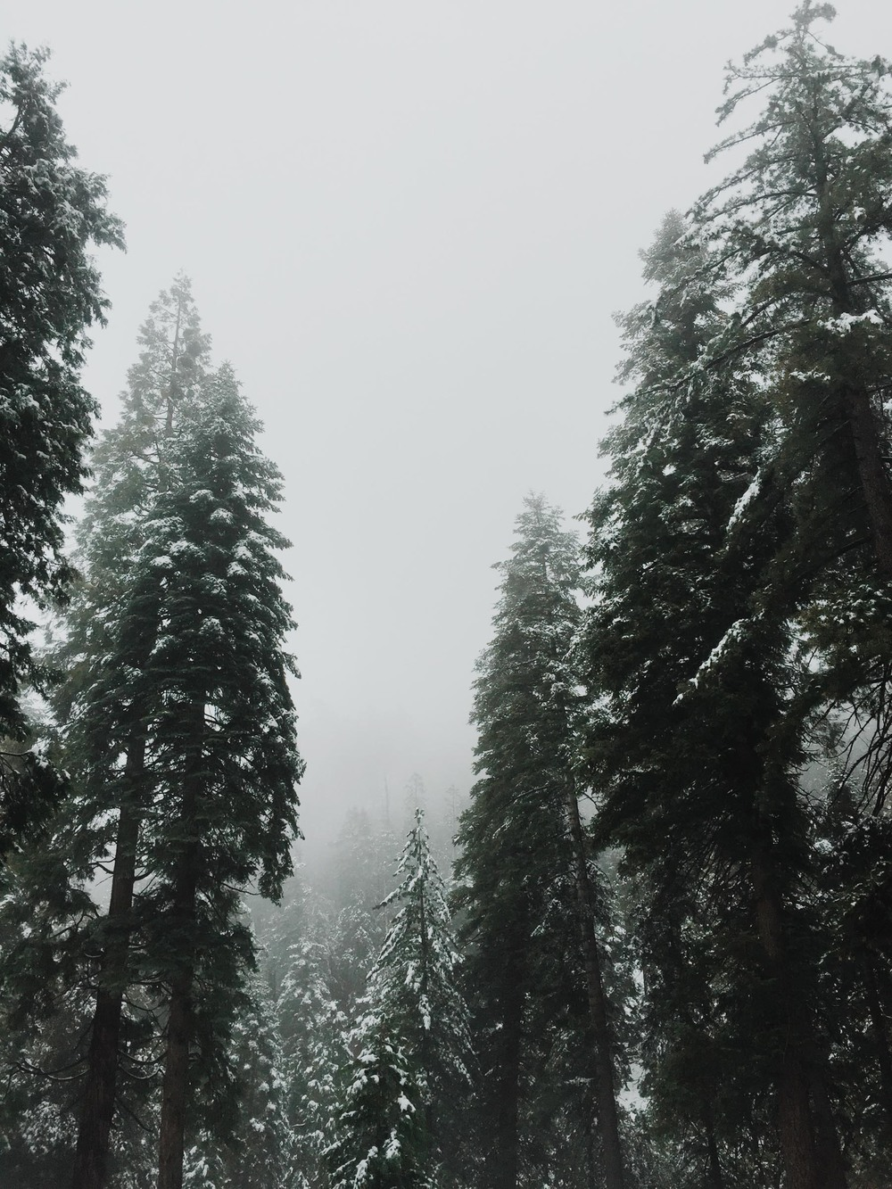 Snow covered pine trees | Katch Silva