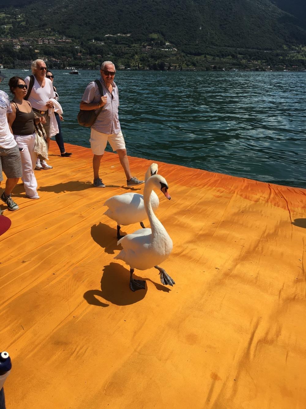 Floating Piers Swans Strolling IMG_0198.jpg