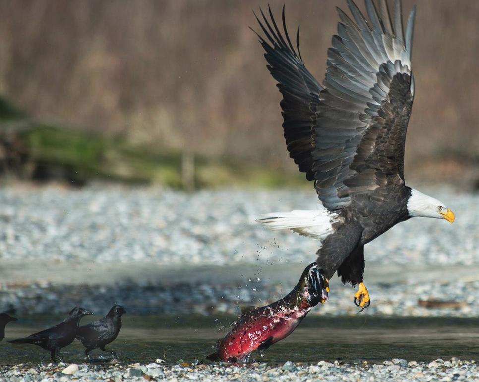Ravens with Eagle.jpg