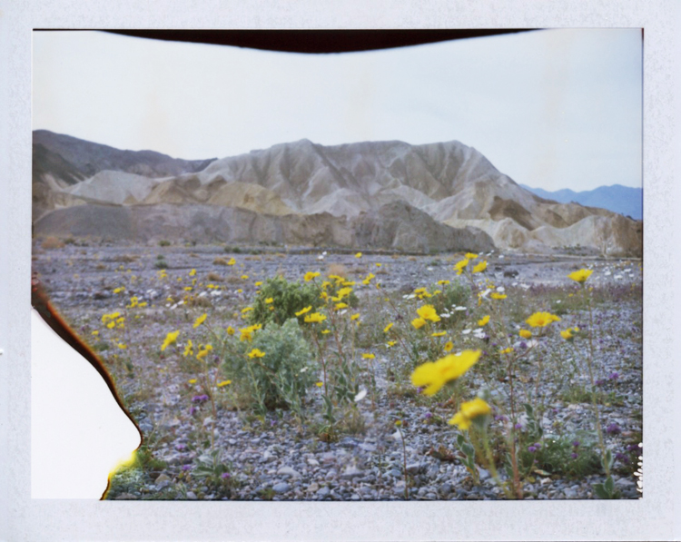 death valley national park super bloom desert wildflowers | gaby j photography | fuji fp100c instant polaroid film