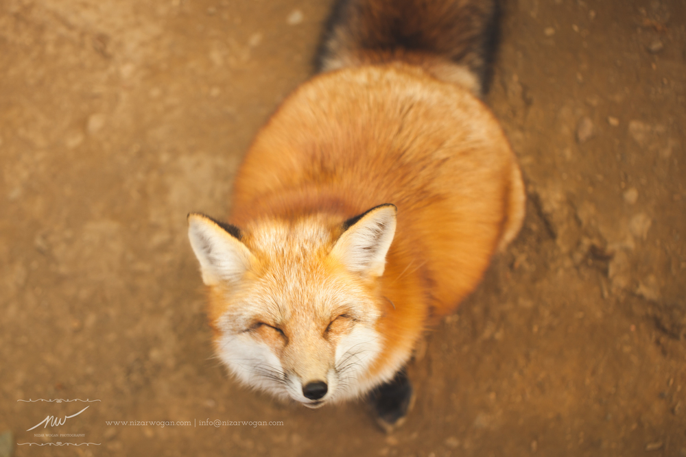Smiley fox :)