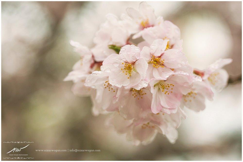 Full bloom sakura (cherry blossom) at the Kintai Bridge (Iwakuni, Japan) after the rain.