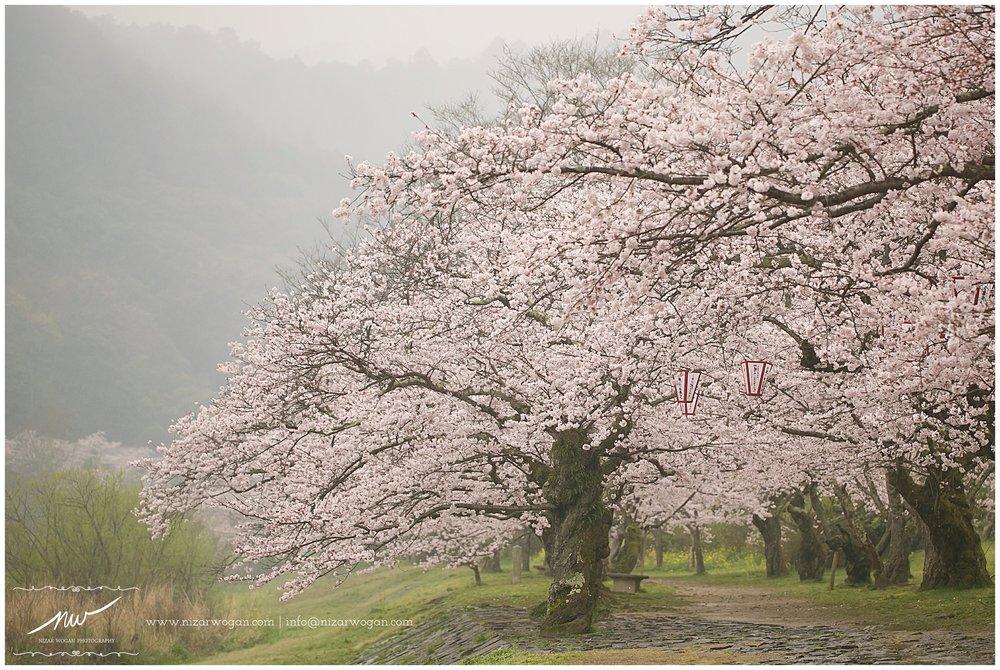 kintai bridge, iwakuni, sakura, cherry blossom, japan