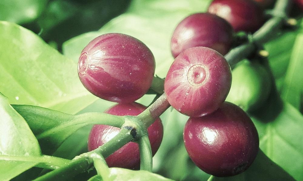levinsky-bohne_arabica-pflanze.jpg
