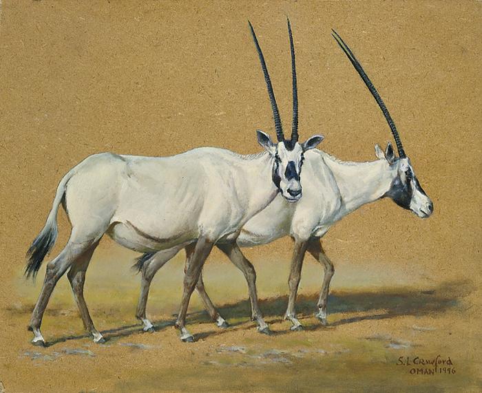 Omani Oryx