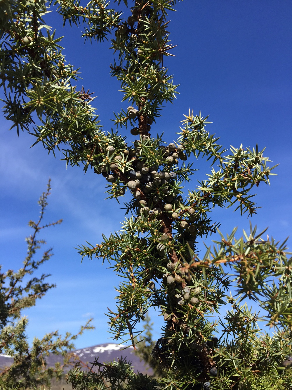 Scottish Juniper growing in the highlands