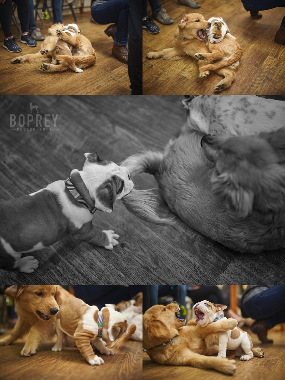 Rosie the English Bulldog roughing around with Milo the Golden Retriever.