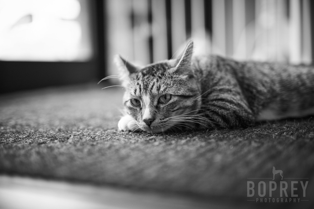 boprey-pet-photography-nyc-6