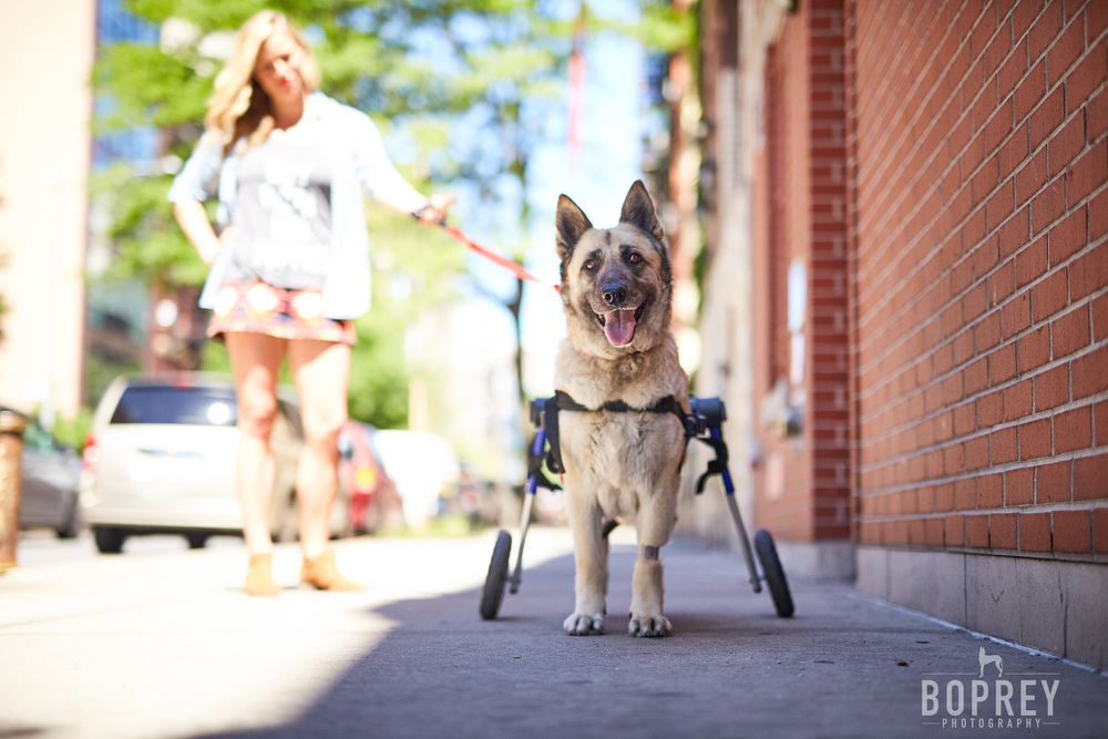 Tera the German Shepherd has spinal paralysis but uses a wheelchair to regain her mobility